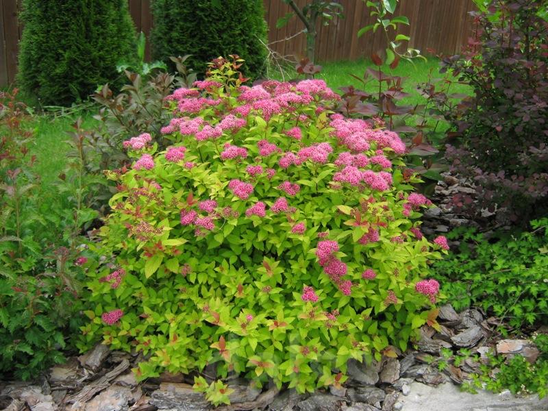 Picture of Live Japanese Spiraea (comp.) aka Spiraea japonica 'Magic Carpet' Plant Fit 1 Gallon Pot